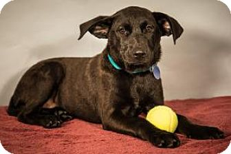 Labrador Retriever/Hound (Unknown Type) Mix Puppy for adoption in Berkeley Heights, New Jersey - Rooster