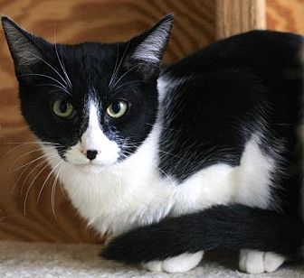 Domestic Shorthair Cat for adoption in Hammond, Louisiana - Pecan