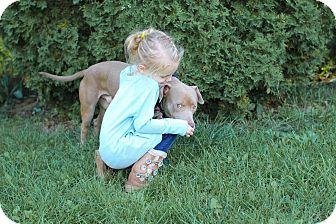 Weimaraner/Labrador Retriever Mix Dog for adoption in Grand Ledge, Michigan - Marty