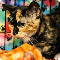 Domestic Shorthair Kitten for adoption in Morgan Hill, California - Milady