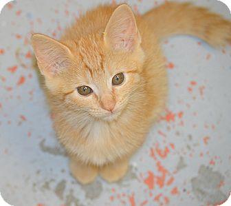 Domestic Shorthair Kitten for adoption in San Leon, Texas - Cheddar