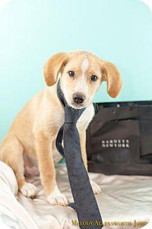 Labrador Retriever/Hound (Unknown Type) Mix Puppy for adoption in West Orange, New Jersey - Barney