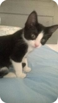 Domestic Shorthair Kitten for adoption in Youngsville, North Carolina - Dolly