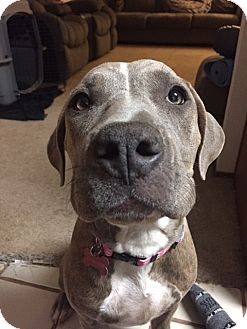 American Staffordshire Terrier/American Pit Bull Terrier Mix Dog for adoption in San Diego, California - Boo