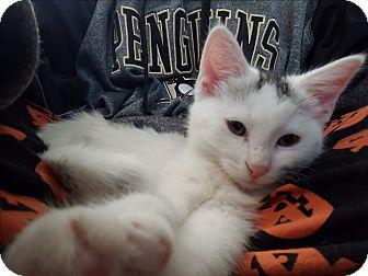 Domestic Shorthair Kitten for adoption in Greensburg, Pennsylvania - Mercury