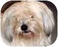 Havanese/Shih Tzu Mix Dog for adoption in Sacramento, California - Kep