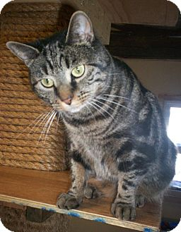Domestic Shorthair Cat for adoption in Berkeley Hts, New Jersey - Taz (Urgent Plea)