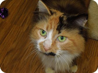 Domestic Mediumhair Cat for adoption in Medina, Ohio - Sasha