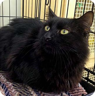 Domestic Longhair Cat for adoption in Merrifield, Virginia - Twizzles