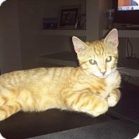 Adopt A Pet :: Alex (DECLAWED) - Mesa, AZ