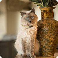 Adopt A Pet :: Maui - Gilbert, AZ