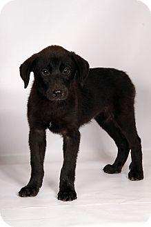 Labrador Retriever/Shepherd (Unknown Type) Mix Puppy for adoption in St. Louis, Missouri - Honey (Waverly) Labmix