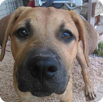 Boxer Mix Puppy for adoption in Tonopah, Arizona - Laverne