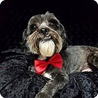 Lhasa Apso/Poodle (Miniature) Mix Dog for adoption in Urbana, Ohio - Felix Ranger