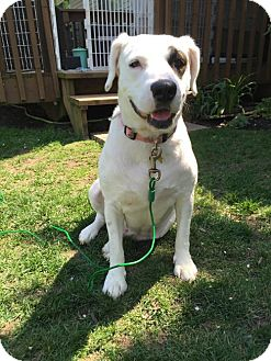 Brittany/Labrador Retriever Mix Dog for adoption in Gilberts, Illinois - Tia