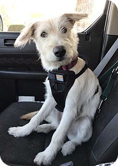 Jindo/Old English Sheepdog Mix Puppy for adoption in Los Angeles, California - CHARLI