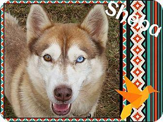 Husky Dog for adoption in Stuart, Virginia - Sheba