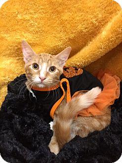 Domestic Shorthair Kitten for adoption in Pasadena, Texas - Alani
