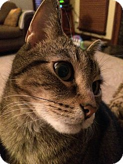 Domestic Shorthair Cat for adoption in Cleveland, Ohio - Kit