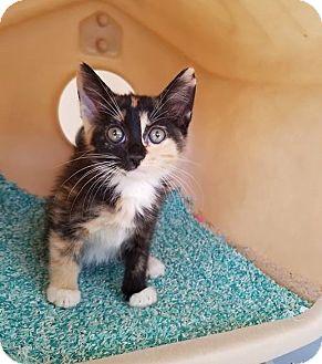 Calico Kitten for adoption in Umatilla, Florida - Dolly