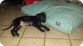 Pit Bull Terrier Mix Puppy for adoption in Allen, Texas - Bullseye