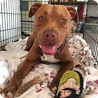 Adopt A Pet :: Orion - Arlington, VA