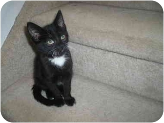 Domestic Shorthair Kitten for adoption in Loveland, Colorado - Wesley