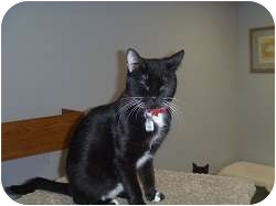 Domestic Shorthair Cat for adoption in Hamburg, New York - Shelby