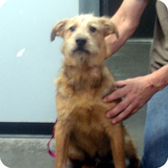Airedale Terrier Mix Dog for adoption in baltimore, Maryland - Cedric