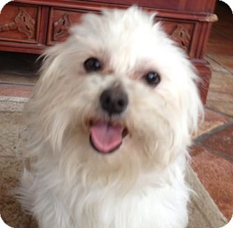 Maltese Mix Dog for adoption in Thousand Oaks, California - Tucker
