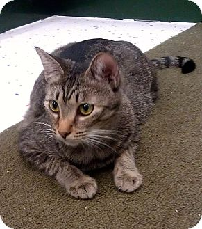 Domestic Shorthair Cat for adoption in Phoenix, Arizona - Clara