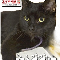 Domestic Shorthair Cat for adoption in Davenport, Iowa - Maggie FIV+