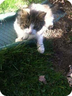 Domestic Mediumhair Cat for adoption in Alliance, Ohio - Stray