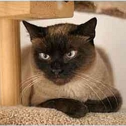 Photo 2 - Siamese Cat for adoption in New York, New York - Mina
