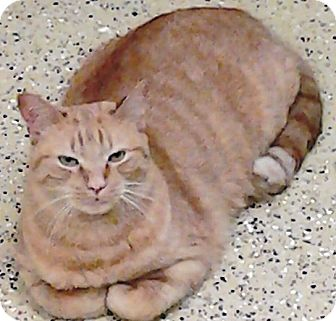 Domestic Shorthair Cat for adoption in Kalamazoo, Michigan - Stitch