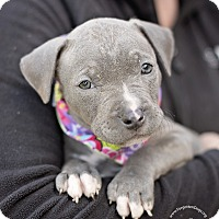 Adopt A Pet :: Bella - Houston, TX