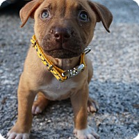 Adopt A Pet :: Buttercup - Ft. Myers, FL
