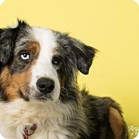 Adopt A Pet :: Briscoe - Roanoke, VA