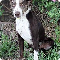 Adopt A Pet :: WINSTON - Westminster, CO