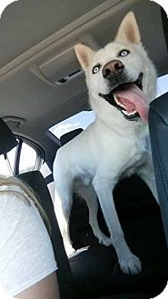 Siberian Husky Mix Dog for adoption in Cavan, Ontario - Makita