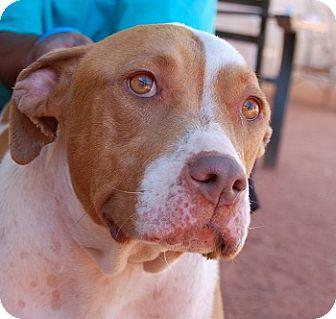 Labrador Retriever/American Staffordshire Terrier Mix Dog for adoption in Las Vegas, Nevada - Ariel