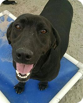 Labrador Retriever Mix Dog for adoption in Ringoes, New Jersey - Carly