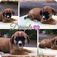 Adopt A Pet :: Dimple - Hagerstown, MD