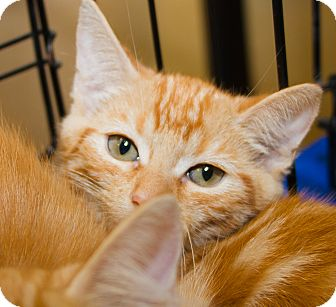 Petsmart Tustin Cat Adoptions