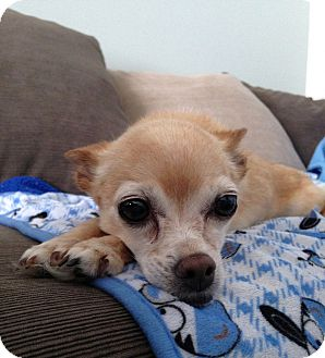 Chihuahua Dog for adoption in Columbus, Ohio - Lilly