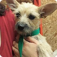 Adopt A Pet :: Raylie - Kirkland, WA