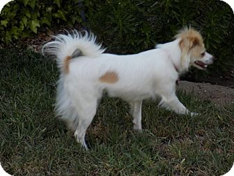 Papillon Mix Puppy for adoption in San Diego County, California - Riki