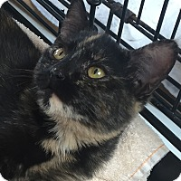 Calico Cat for adoption in Lincolnton, North Carolina - Kaya