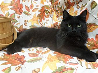 Domestic Longhair Cat for adoption in Cleveland, Mississippi - MAMMA KITTY
