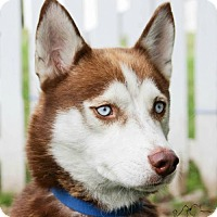 Husky Dog for adoption in Troy, Illinois - Diesel